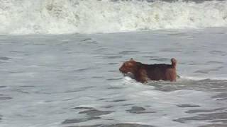 Grendel the Crazy Airedale in OBX 2
