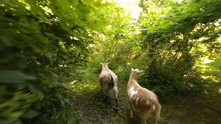VR Nature walk with goats june