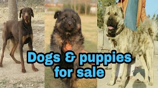 Bully Gultair Afghan Cochi Belgium Shepherd a lot of breed dogs and Puppies for Sale 03139393944