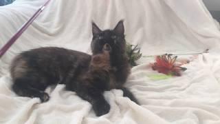 Кошка Мейн-Кун возраст 5 месяцев