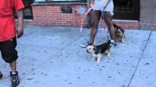 Bodega cat attacking dogs - Harlem, NYC