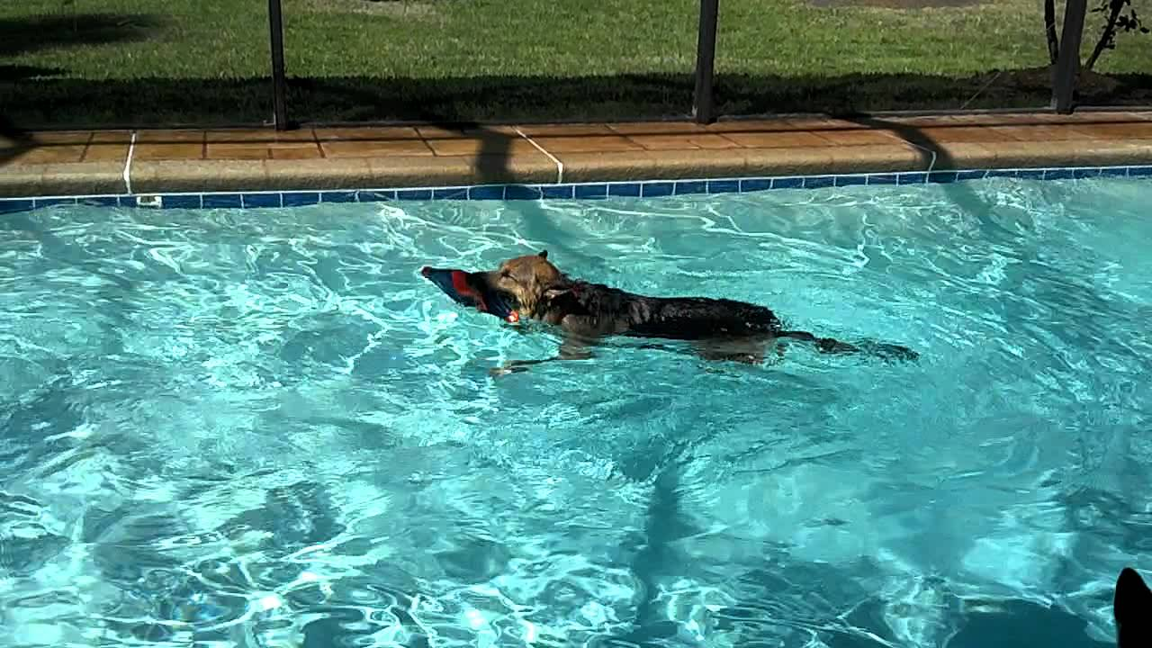 Our German Shepherd Sammi Goes Swimming In The Pool Youtube