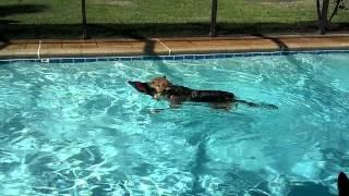Our German Shepherd Sammi Goes Swimming In The Pool