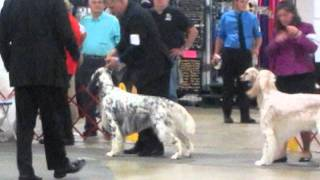 Windjammers Masterpiece  English Setter Dog Show Greenville, Sc