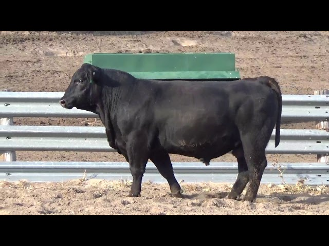 Connealy Angus Lot 203