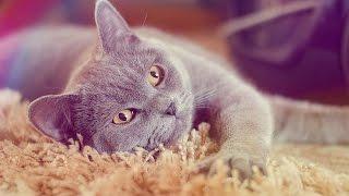 Видео для релакса : ) Шотландский кот Тобиас умывается.