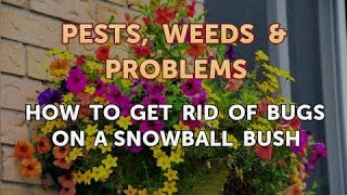 How to Get Rid of Bugs on a Snowball Bush