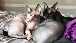 Bird Bothers Cuddling Cats || ViralHog