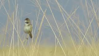 Paddyfield Warbler - Veldrietzanger - Acrocephalus agricola