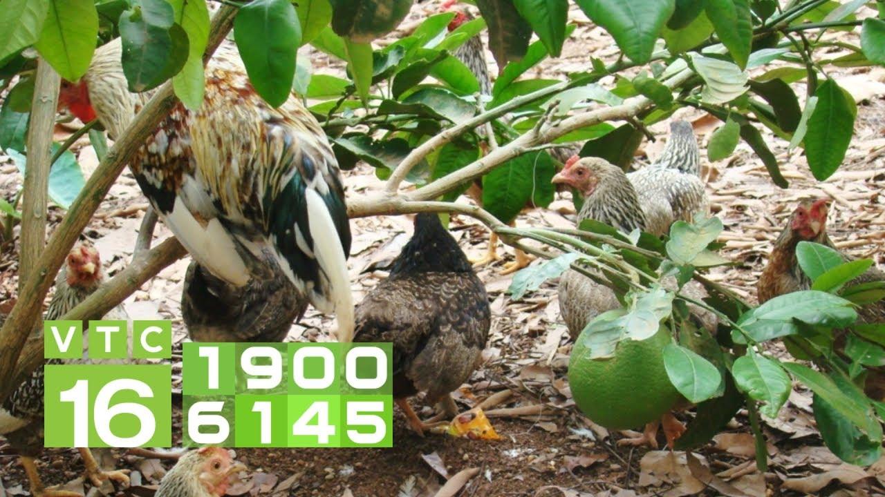 Lưu ý khi nuôi gà trong vườn cây ăn quả I VTC16