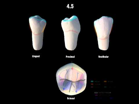 4.5 Segundo Premolar Inferior - YouTube