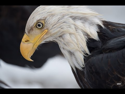 The Fisherman And The Physicist (II) - Eagles In Dutch Harbor, Alaska