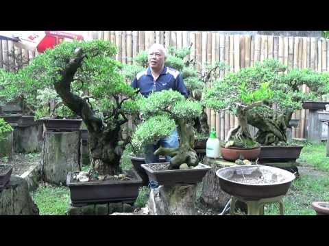 Bonsai Tutorials for Beginners: Care and Maintenance of Pemphis Acidula