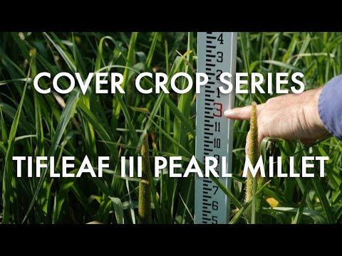 Tifleaf III Pearl Millet: Noble Cover Crop Series