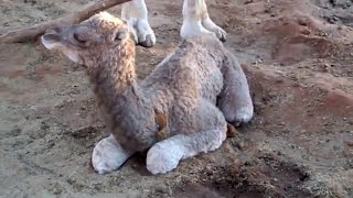 Newborn baby camel at 2 hours old. Can he stand?