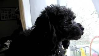 Howling Wolf Poodle- Rated G
