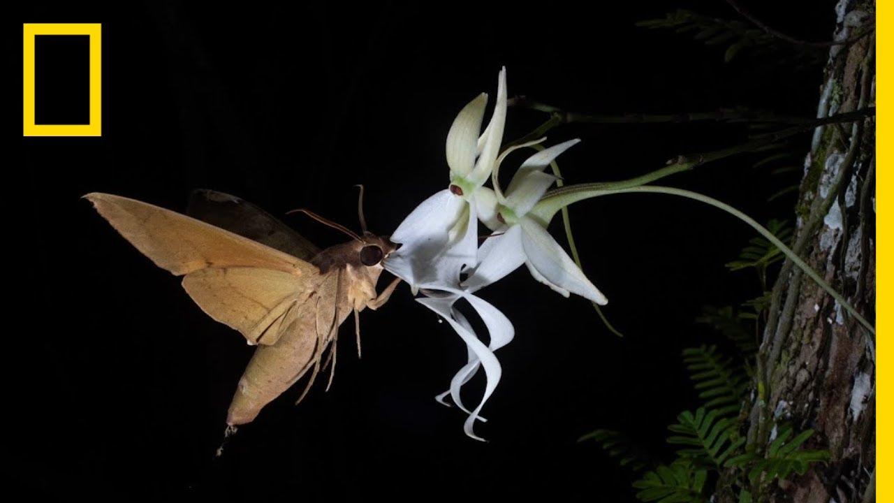Rare Ghost Orchid Has Multiple Pollinators | Short Film Showcase