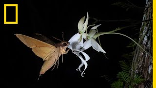 Rare Ghost Orchid Has Multiple Pollinators | Short Film Showcase