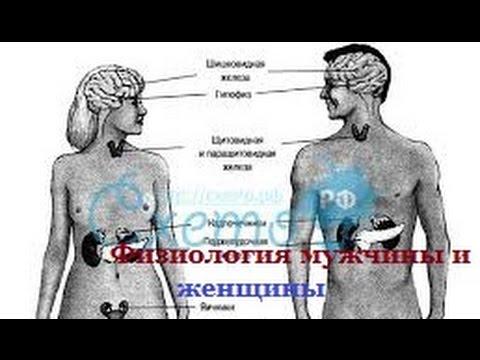 Физиология мужчины и женщины