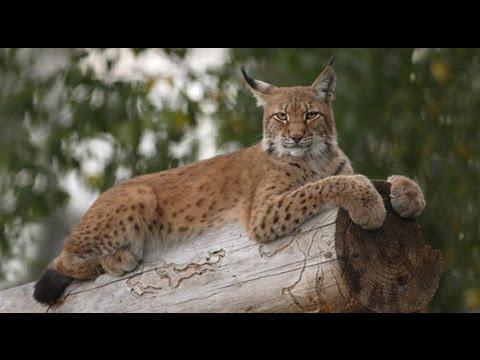 National Geographic Documentary - Lynx - Wildlife Animal