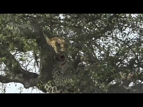 Safari Live : James and Brent in the Masai Mara this afternoon June 21, 2017