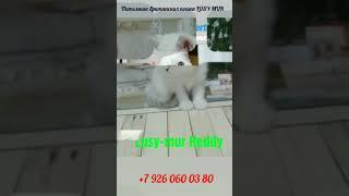 Британские котята серебристые колор поинт