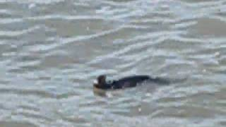 Close up of seal at Pismo Beach at Cottage Inn by the Sea .wmv