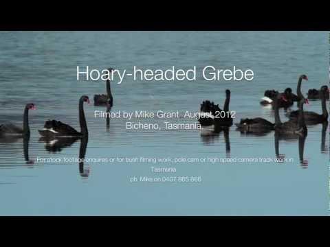 Hoary-headed Grebe,  filmed at Bicheno, East Coast of Tasmania.