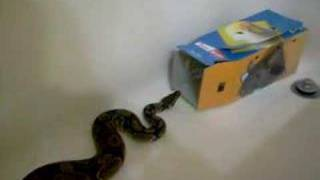 female ball python eating a rat