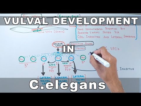 Vulval Development in C.elegans