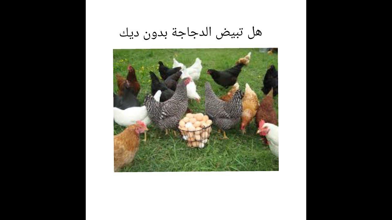 هل الدجاجة تبيض بدون الديك Youtube