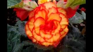 Begonia Bulbs In Bloom - Different Colors Of Begonia Flower Bulbs In Full Bloom
