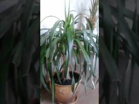 Драцена Драко (драконово дерево) из семян (обзорное видео) драцена дракон