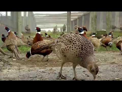 Pheasant Stocking Season