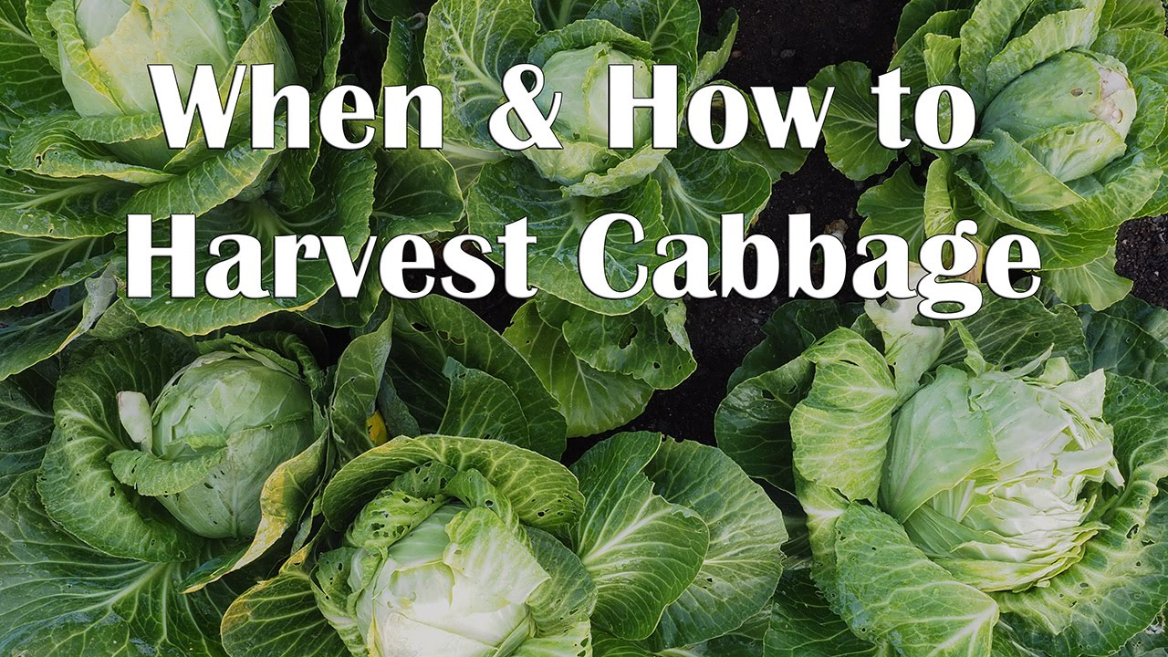 how to know when to harvest red cabbage