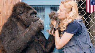 Koko, the gorilla famed for using sign language, dies - TomoNews