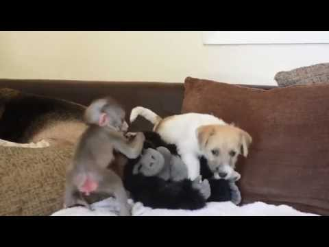 Baby monkey is best friends with Jack Russell