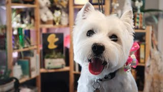 Busy Body Needs a Clean Up | West Highland White terrier Pet Groom by NCMG