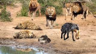 King Lion destroy Hyena cubs stupid go into his territory   Epic Battles Of Lion Vs Hyena