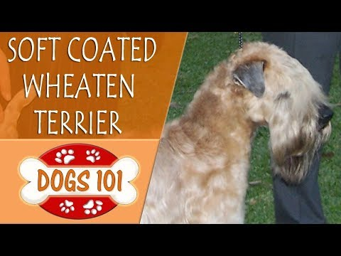 Dogs 101 - SOFT COATED WHEATEN TERRIER - Top Dog Facts About the  SOFT COATED WHEATEN TERRIER