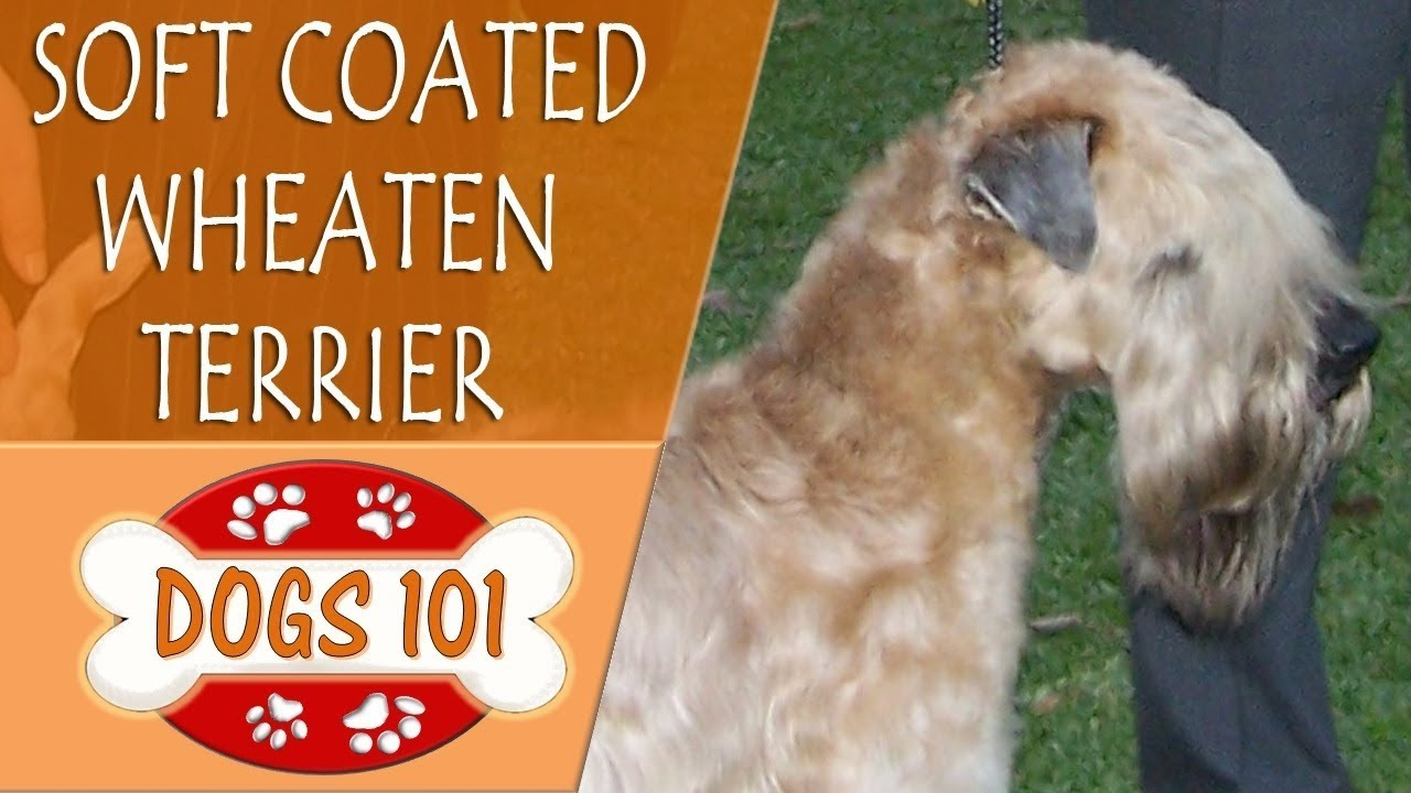 Dogs 101 Soft Coated Wheaten Terrier