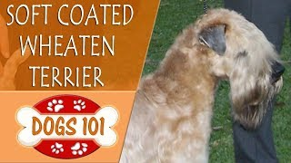 Dogs 101  SOFT COATED WHEATEN TERRIER  Top Dog Facts About the  SOFT COATED WHEATEN TERRIER