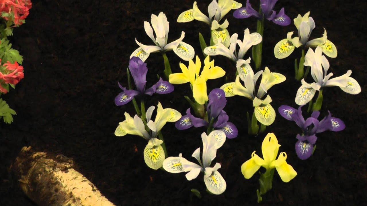 Iris Mixed Colors Flower Bulbs Youtube