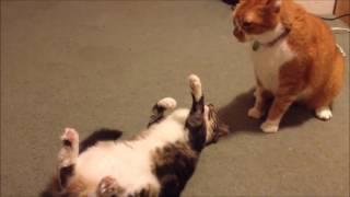 Самые большие коты! Вот это прикол!