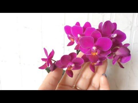 Мини фаленопсис расцвел! Мини орхидея фаленопсис уход в домашних условиях.