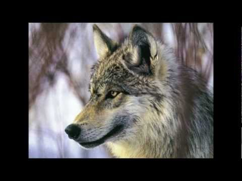 Husky Wolf Youtube