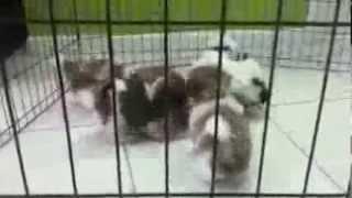 Shih Tzu Puppies For Sale In Miami, Fl  Tel-305-262-7310