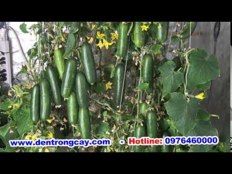 Đèn led trồng cây bí xanh - Đèn led trồng rau sạch