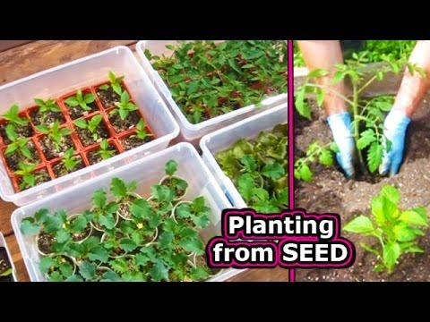 How To Start Tomato Seed Germinate Vegetable Plant Seeds Grow