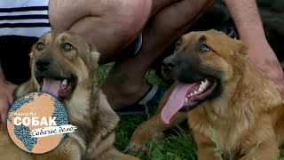 Киргизский дёбет. Планета собак 🌏 Моя Планета